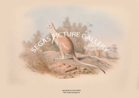 Fine art print of the MACROPUS UNGUIFER - Nail-Tailed Kangaroo  by John Gould (1841-2)